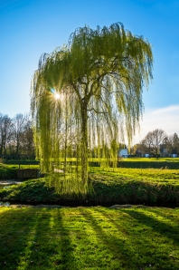 149-Willow-Tree-Stadspark